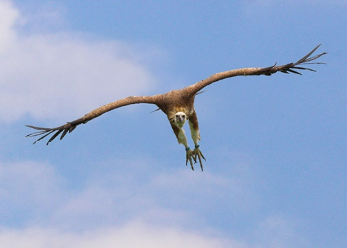 Griffon Vulture 1 by karlburry