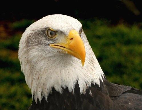 Bald Eagle by BobDM