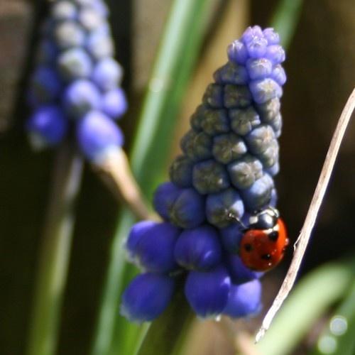 Ladybird on Muscari by bmh1