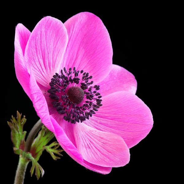 Anemone by BigCol