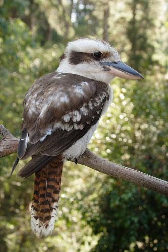 Kookaburra by suede
