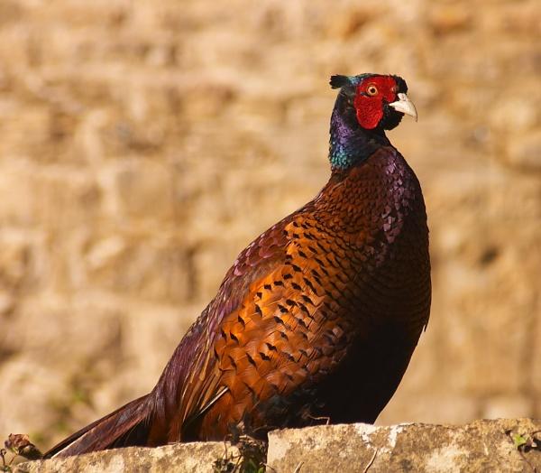 Cotswold Pheasant by strawman