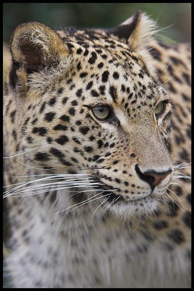 Persian Leopard by zippie