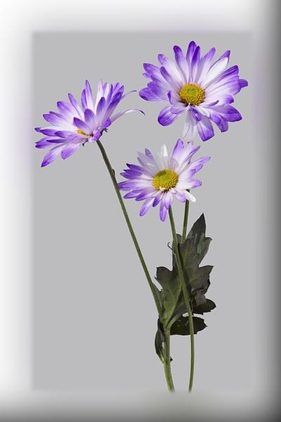 Purple by banehawi