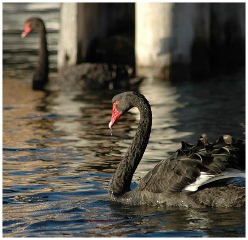 Black Swans by patrickfarrell