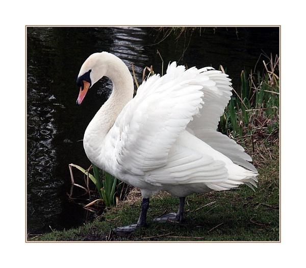 Daddy Swan by Dennie