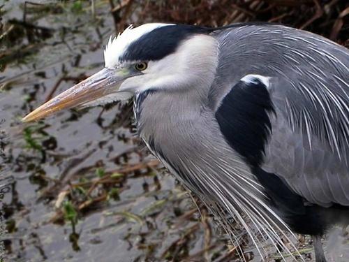 Grey Heron by NorahF