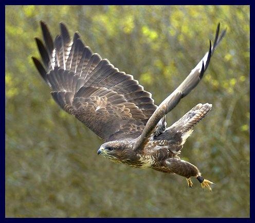 common buzzard by paul_chong