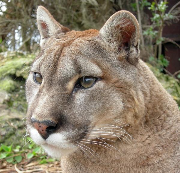 Puma by ReidFJR