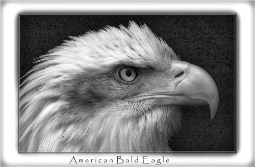 American Bald Eagle by chrissycj