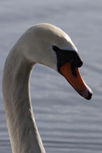 Ballyronan Swan by chenderson