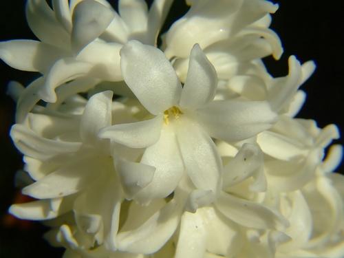 Hyacinth by Josh_R