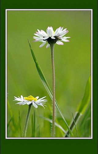 daisies by macdaniel