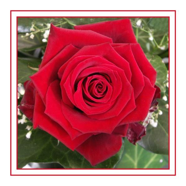 Wedding rose by DolphinLady