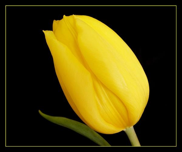 Sunshine Tulip. by DolphinLady