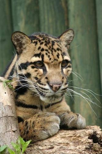 Clouded Leopard by mumfie2003