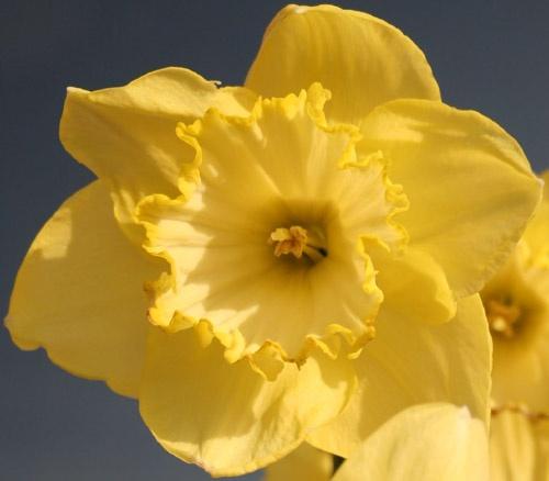 Daffodils by Mark_C