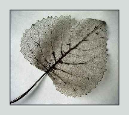 leaf skeleton by CaroleA