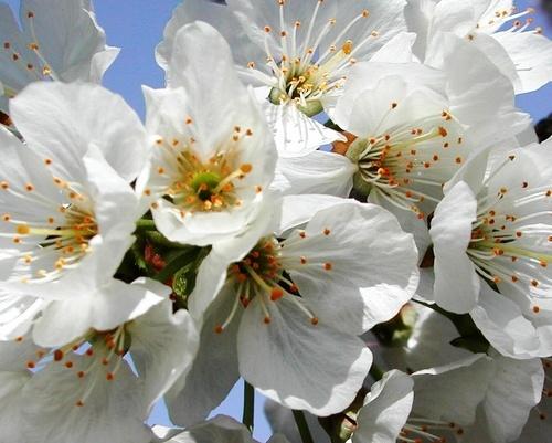 Blossom by rania