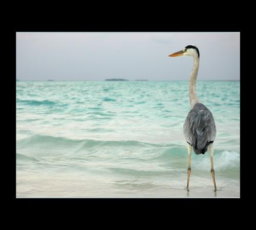 Maldives Heron by sferguk