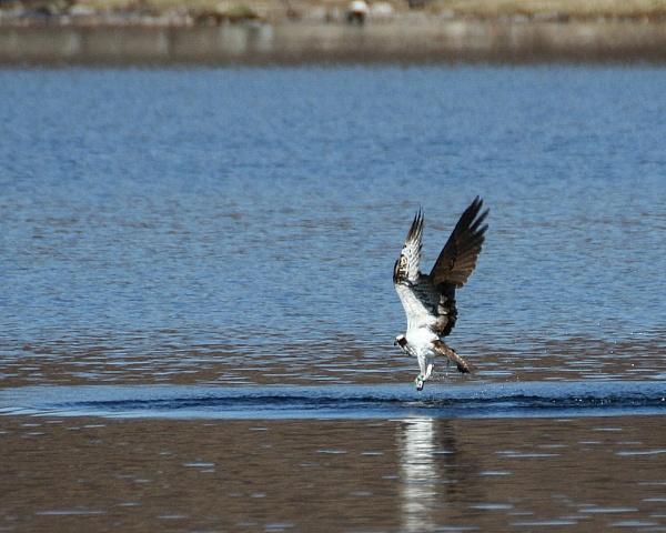 Higland Osprey by podgod