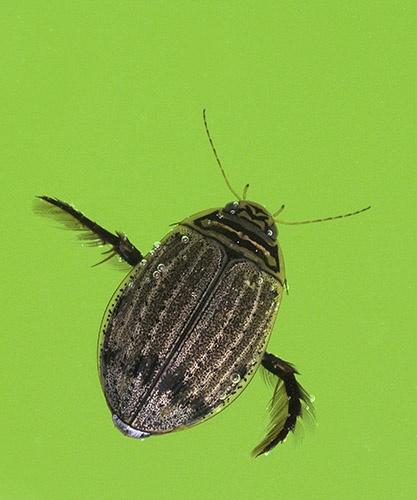 Water Beetle by rdown