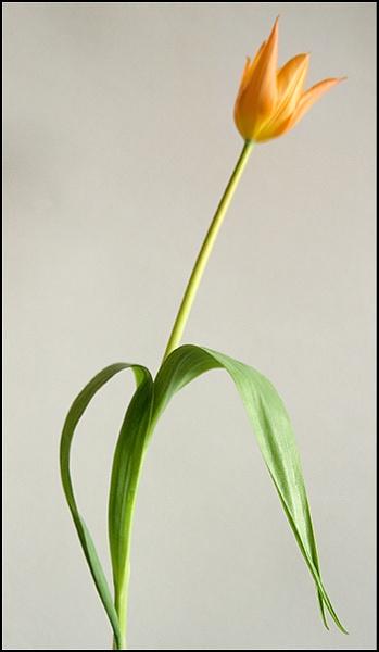 Orange Tulip by laingdonaldson