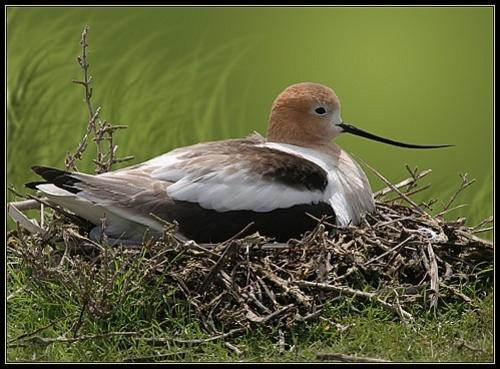 Nesting Avocet by VNelson
