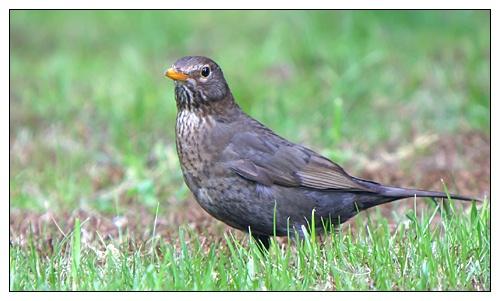 Just a blackbird by AntonR