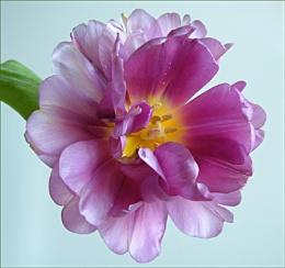 Tulip Too
