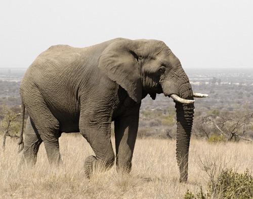 Large Elephant in Pilanesberg National Park by BOB S