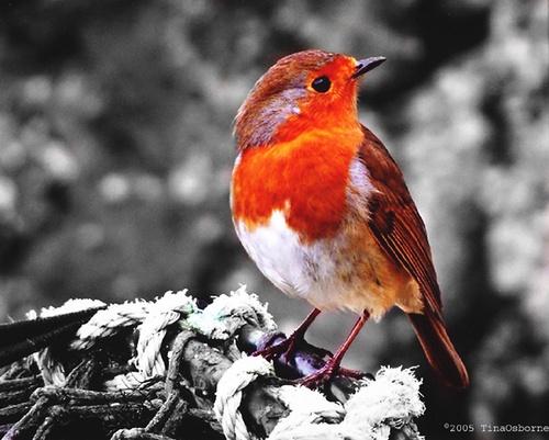 Mullion Robin by CornishEyes