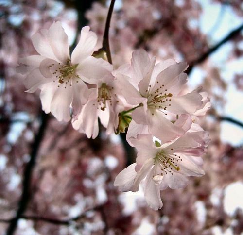 Cherry Blossom by CaroleA