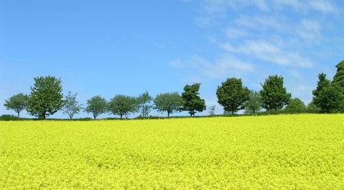 Field of gold by CaroleA