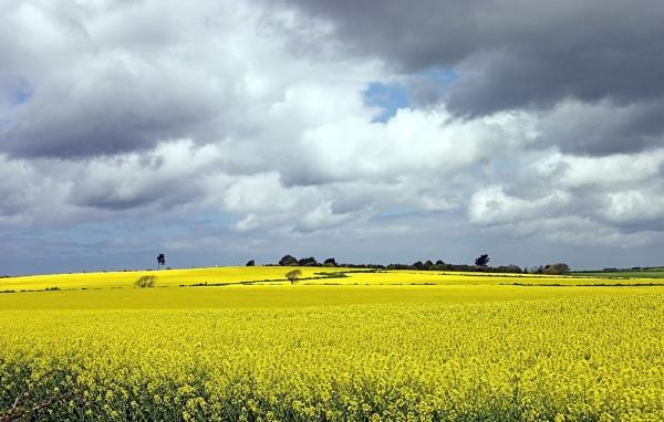 Rapeseed fields by Saxon Marsh