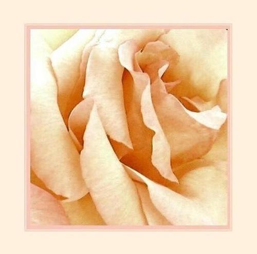 Dusky Rose by rania