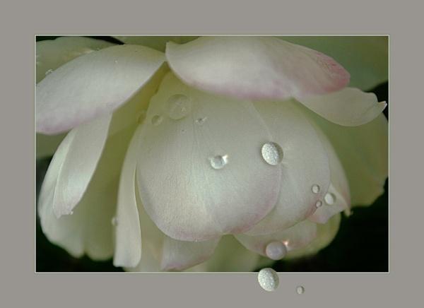 Rose Drops