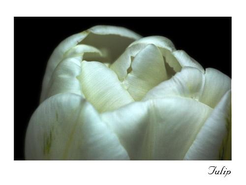 Tulip by markp11