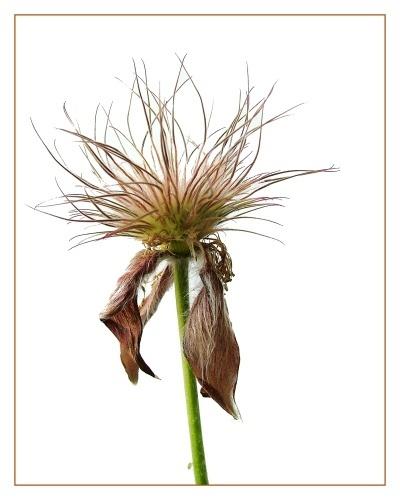 seed head by starliz