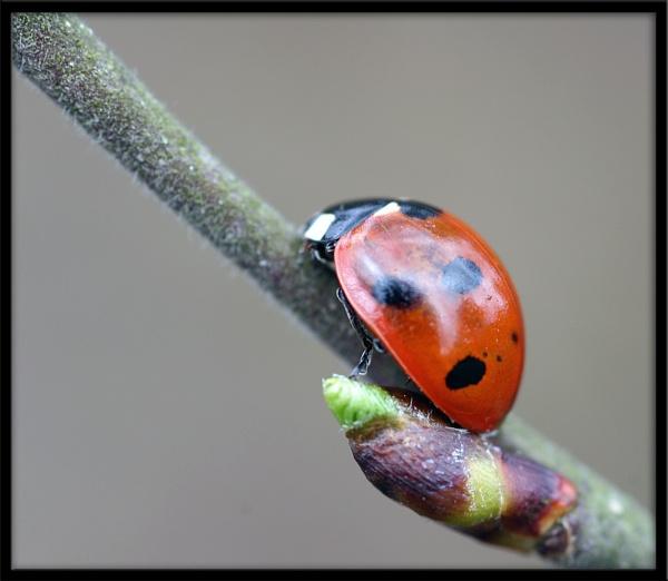 Ladybird by eosdpete