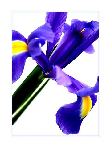 Iris by dalischone