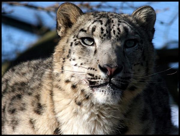 Sunny Snow Leopard by alexkerr