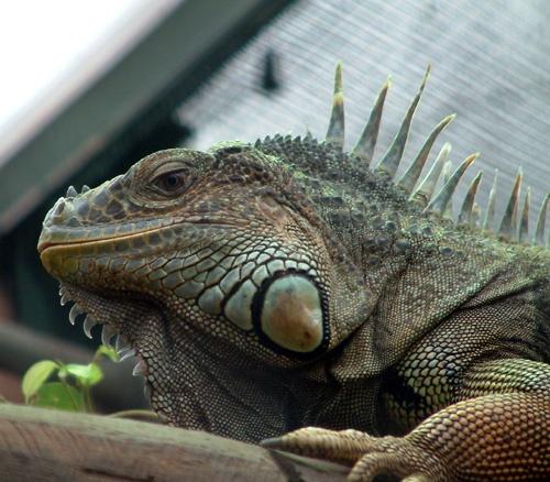Iguana by Fran