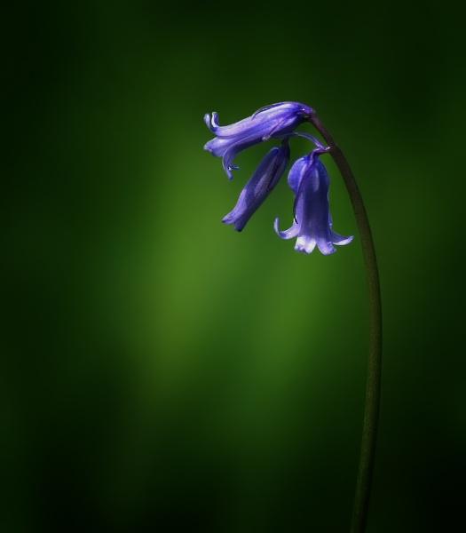 bluebell by clintnewsham