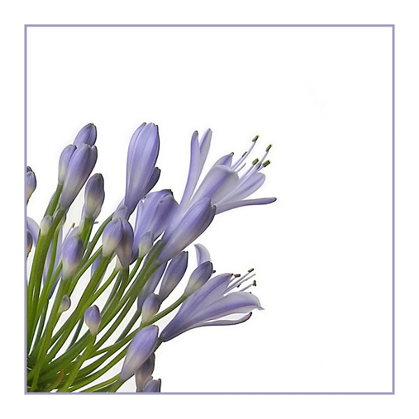 African Blue Lily III by phowtow