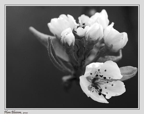 Plum Blossom by Retnyap