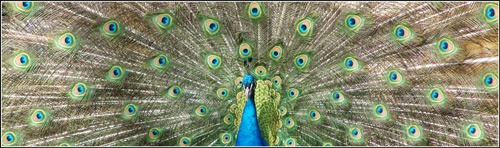 A Very Pleasent Peacock by kemic