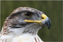 Ferruginous Hawk by SuzeE