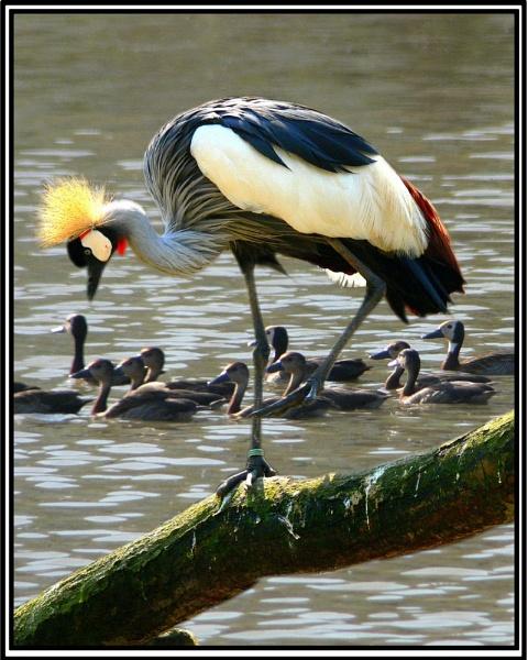 Black crowned crane by MikeRC