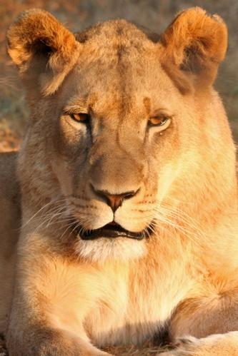 Lionness by leons_photos